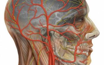 Артерия мозга
